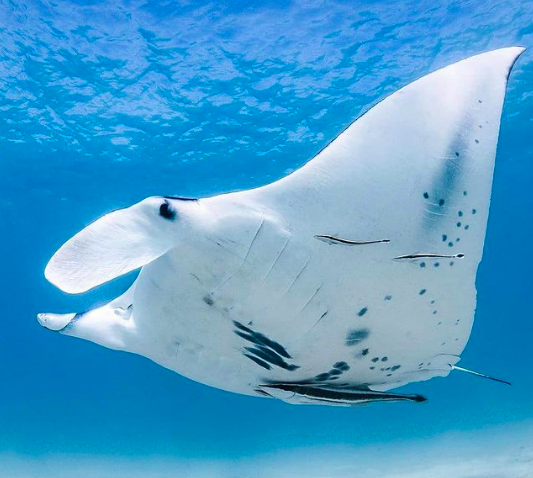 Australia's Coral Coast: 'I got caught up in a whirlwind manta ray romance'